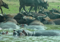 QE2 National Park hippo & buffalo