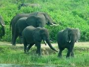 QE2 National Park - elephants