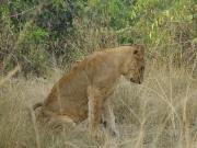 QE2 National Park - lion