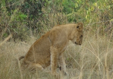 QE2 National Park - lion