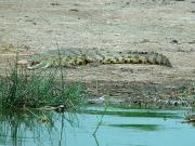 Muechinson Falls National Park - crocodile