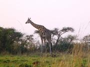 Murchinson Falls National Park - giraffe