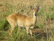 Murchinson Falls National Park - small antelope