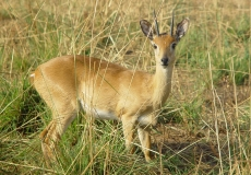 Murchinson Falls National Park - small antelope