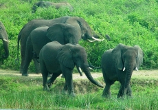 QE2 National Park - elephants
