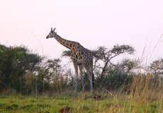 Murchinson Falls National Park - giraffe