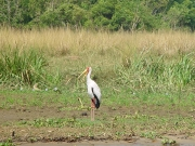 Another type of stork