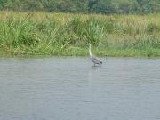 Grey_heron