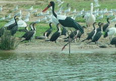 Large_stork_and_water_birds