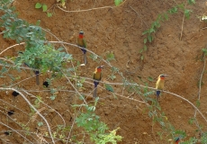 22d_-_possibly_Bee_Eaters